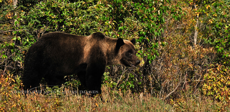 BG-2010.8.25#047. A handsome dark bear Grizzly Bear with nice highlights up front. He has a distinctive scar in front of his right eye. Near 11 mile, Denali Park Alaska.