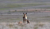AP-2020.4.23#0093.3. A Pronghorn Antelope doe accompanied by two fawns. The larger one may not be her's. Yavapai County Arizona.