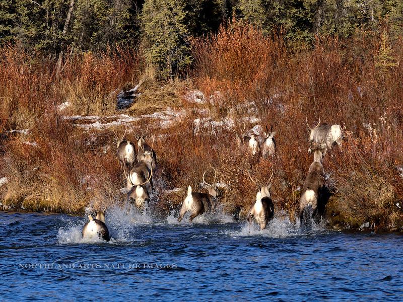 Caribou on fall migration. Alaska. #1015.311. 3x4 ratio format.