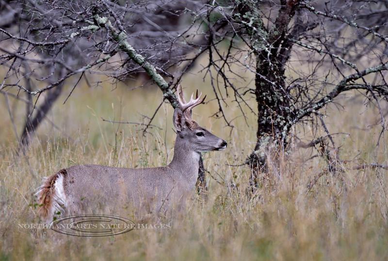DC-2018.10.8#1311. Coues Whitetail buck. Arizona.