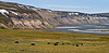 MO-2009.6.12#106.6XX. A family group of Muskox in the foothills of the Brooks Range along the Sagavanirktuk River Alaska.