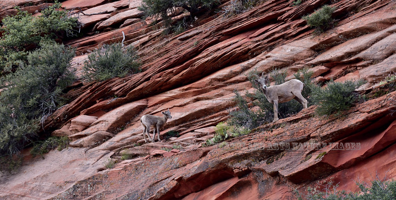 SBHD-2019.7.17#153. A ewe and lamb are  feeding across a sandstone feature that looks like shelving.