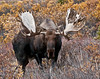 M-2011.9.12#0099.6. The first year a bull showed up appearing to carry the genes of the great 80 incher from a decade before. Denali Park Alaska.