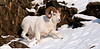"SD-2011.12.15#073-Dall Sheep. A Ram on a ""rut walk"". Chugach Mtn's, Alaska."