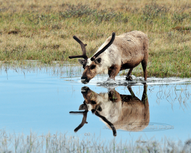 C-2009.6.10#119.2X. A bull caribou crossing a tundra pond following a herd moving to their summer grounds. North Slope Alaska.