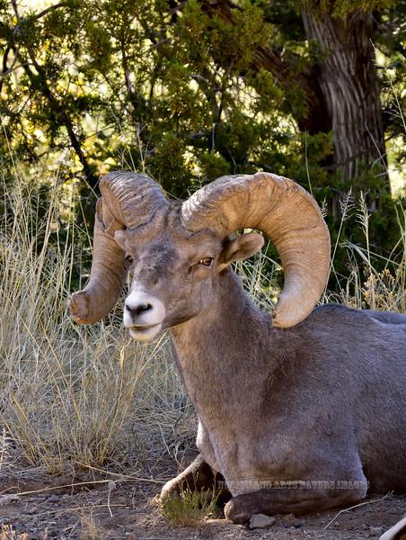 SBHRM-20118.6.12#501. An Arizona Rocky Mountain Bighorn.