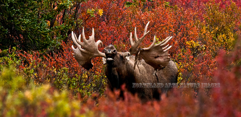 M-2011.8.31#108. A really grand Alaska bull moose with heavy antlers, great width and lots of character. Near mile eight, Denali Park Alaska.