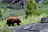 BB-2019.6.20#596. A big Cinnamon morph Black Bear. Lamar Canyon, Yellowstone Park Wyoming.