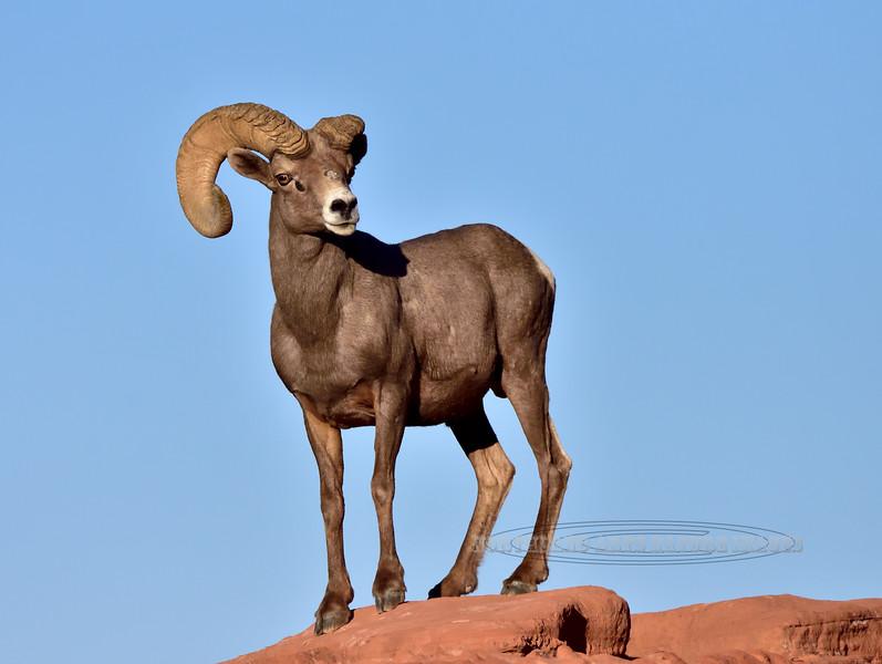 409-2018.12.12#130. Desert Bighorn Ram.