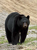 BB-2017.5.16#1066. A really large male Black Bear in the last high pass east of Stone Mountain Park above the Muskwa River country, British Columbia Canada.