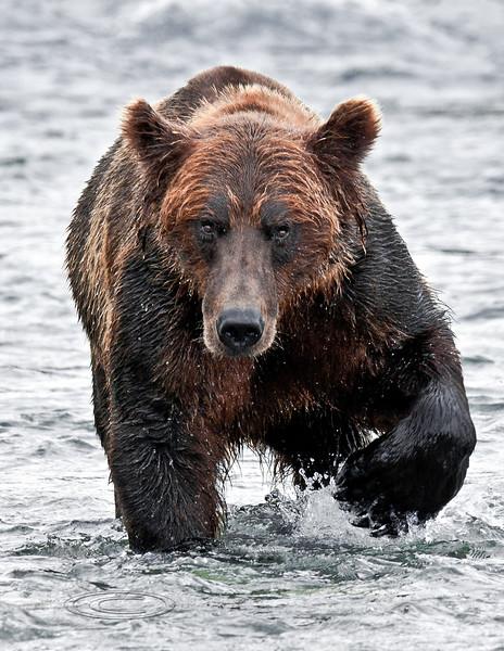 179-2010.8.12#175. Alaskan Brown bear fishing for Chum salmon. Upstream of Enders Island, McNeil River Alaska.