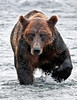 179-2010.8.12#175. Alaskan Brown bear fishing for Chum salmon. Upstream of Enders Island, McNeil River Alaska.