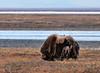 MO-2009.6.10#207. A Muskox bull on the Arctic coast moulting his qiviut for the summer. The Arctic Coastal Plain near the Sagavanirktuk River, Alaska.