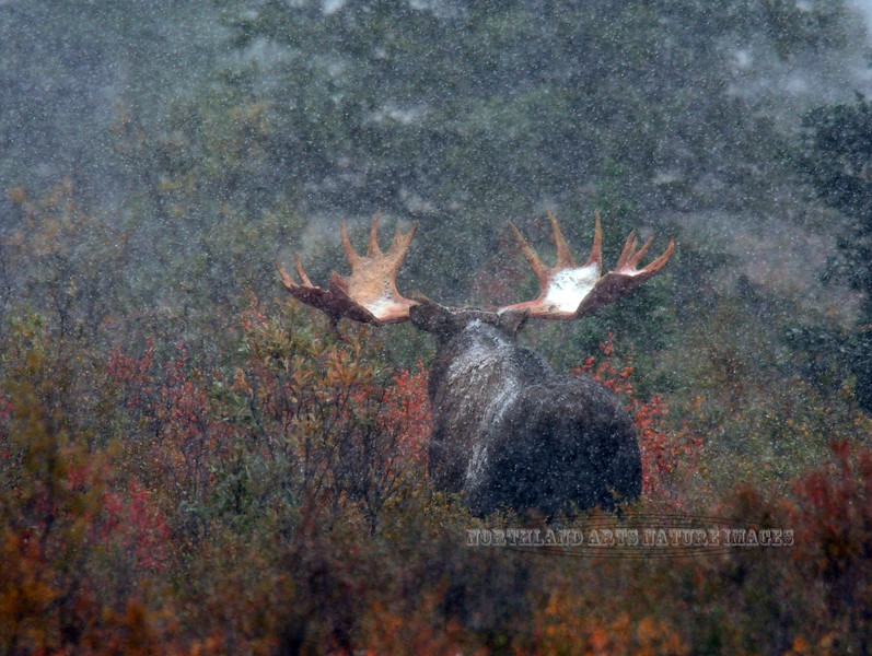 M-2015.8.28#244. Alaska Moose. A bull in a foggy heavy wet snow showing an unusual backwards drop tine on the underside of his left antler. Eleven mile, Denali Park Alaska.