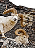 """101-1997.5#10. A very large full curl Dall ram with unusual corrugated rings on the boss of his horns. We could not figure out how these rams managed to get in this cube like place with steep shear walls thirty plus feet high on three sides and a sheer drop of more then fifty feet where I shot from. So, we called them the """"hole in the wall rams"""". Denali Park Alaska. Scanned from old film stock."""