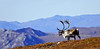 A large Barren Ground Caribou bull traveling across a high ridge above the Sanctuary river.. Denali National Park, Alaska. #93.0208, 1x2 ratio format.