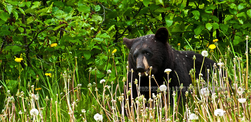 I found this black bear on the edge of these mountain alders intently grazing on bloomed out dandelions. Kenia peninsula,Alaska. #620.072. 1x2 ratio format.