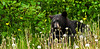 BB-2011.6.20#072. I found this black bear on the edge of these mountain alders intently grazing on bloomed out dandelions. Kenia peninsula, Alaska.