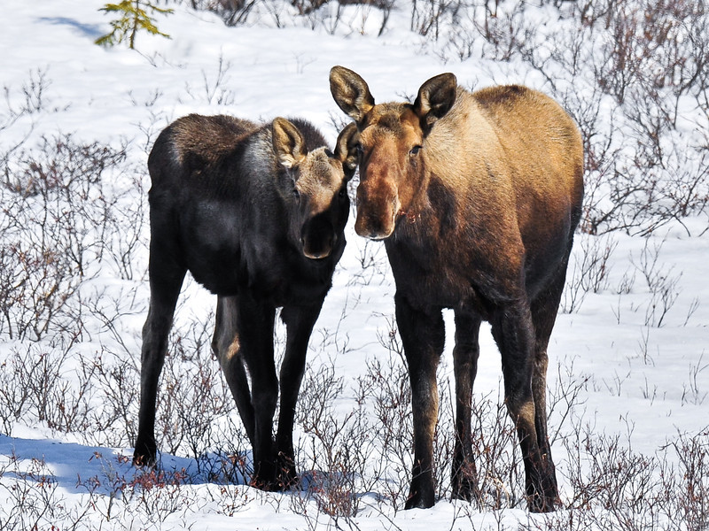 A cow moose with her yearling calf in early spring. Alaska Rang Alaska. #428.275. 3x4 ratio format.