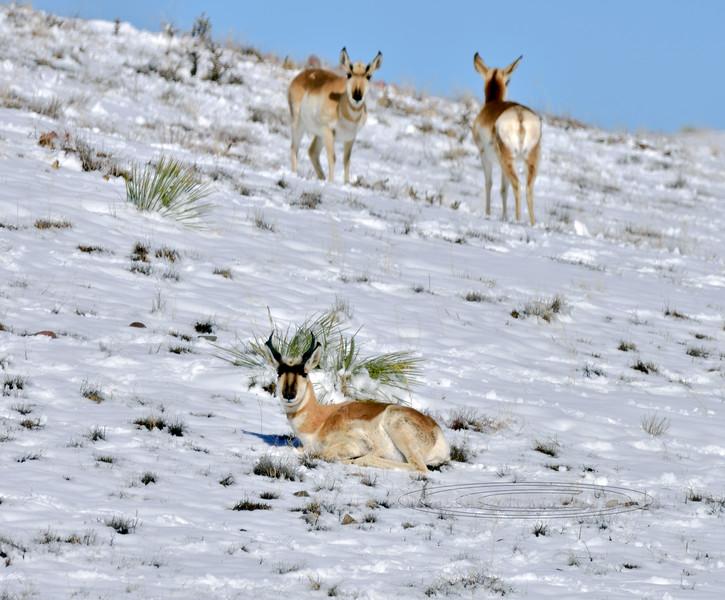 AP-2021.1.27#7880.3. Pronghorn Antelope on the high prairie of Yavapai County Arizona.