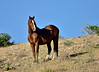 H-2020.5.5#2128.3. A  Wild Horse On the North Shore of Lake Mead Rec. area Nevada.
