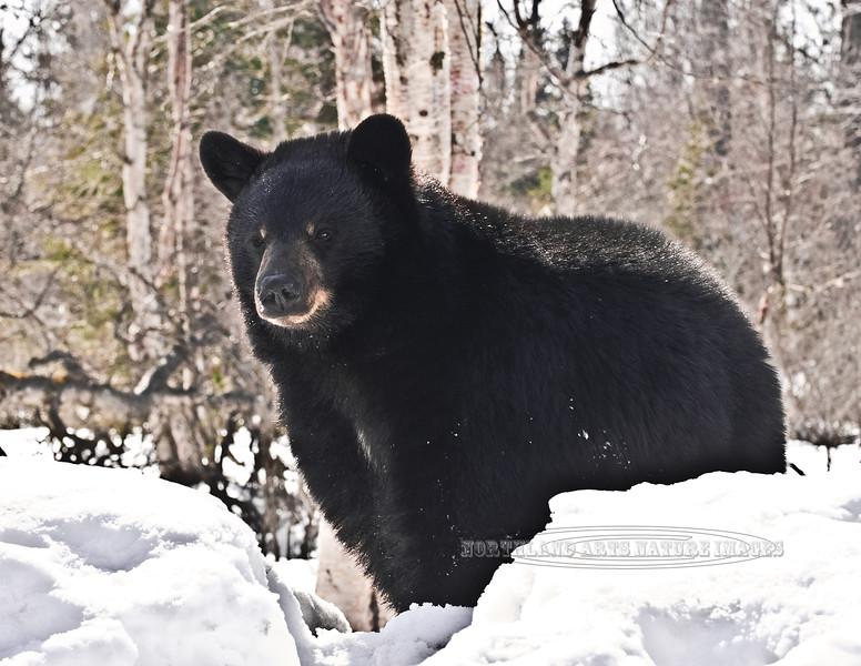 BB-2012.4.9#067. Black Bear. Anchorage,Alaska.