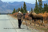 M-2013.9.17#105.341. Eight mile, Denali Park Alaska. Photo by Vic Van Ballenberghe.