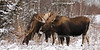 A pair of Alaska bull moose feeding again post rut. Anchorage Alaska. #1214.0051. 1x2 ratio format.