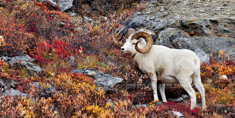 SD-2009.9.16#231-A really nice full curl Dall ram in fall color. Savage Canyon, Denali Park Alaska.