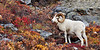 A big mature full curl Dall sheep ram in fall color. Alaska Range, Alaska. #916.231. 1x2 ratio format.