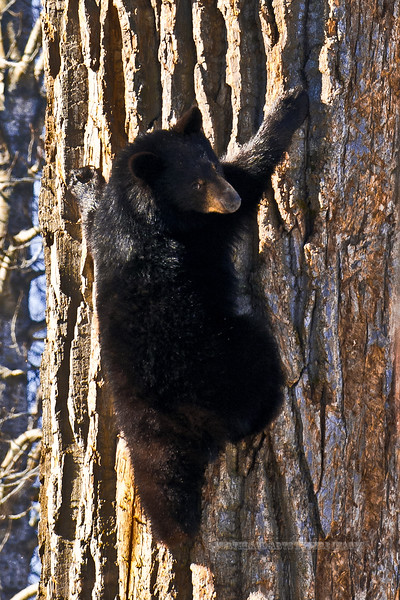 BB-2011.4.12#138. Black Bear cub coming down from cottonwood den. Campbell creek, Anchorage, Alaska.