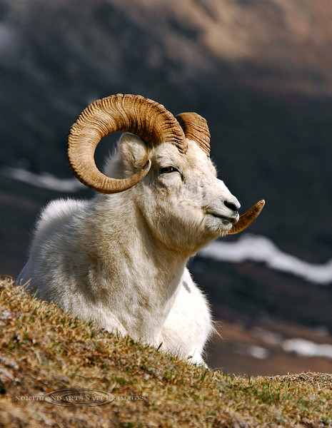 SD-2005.5.14#0144-A young Dall sheep ram chewing his cud and resting in the high alpine. Denali Park Alaska.