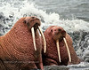MMW-1987.9#47b3.2. Two Walrus posing for me in the surf. Near Cape Saniak, Alaska Peninsula Alaska.