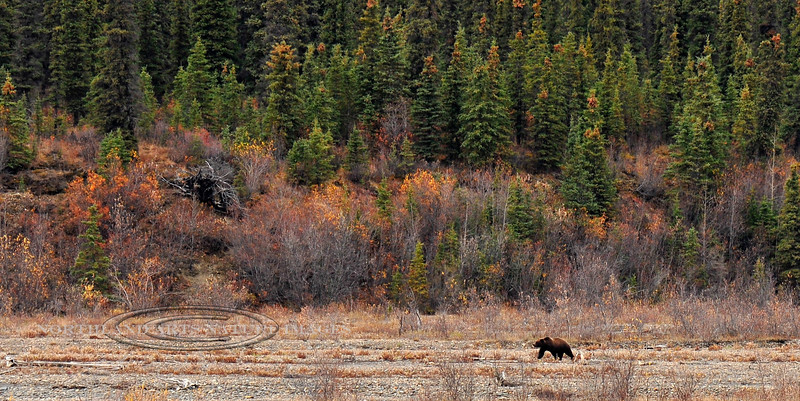 A lone grizzly is searching for the last of the fall berries. Alaska Range, Alaska. #921.117. 1x2 ratio format.
