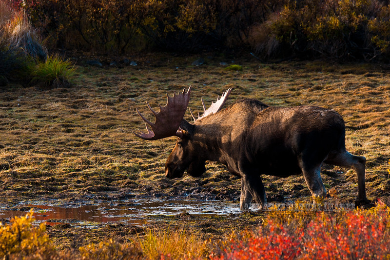 A Bull Moose ventures out out of the dense Spruce forest for a drink at the first rays of light. #94.134. 2x3 ratio.
