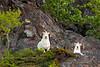 SD-2012.6.2#204-Dall Rams. Chugach Mtn's, Alaska.