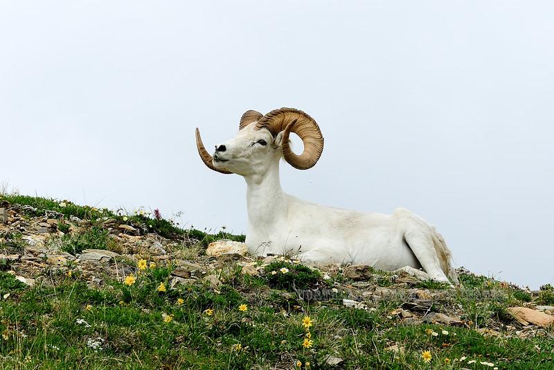 SD-2012.6.30#145.4. A really fine Dall ram chewing his cud on a high ridge. Denali Park Alaska.