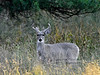 DC-2018.10.17#818. Coues Whitetail buck. A  medium 4x4 buck still in velvet. Arizona.