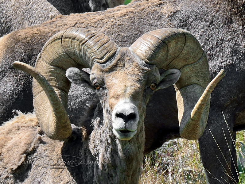 SBHRM-2015.5.17#1346. A Rocky Mountain Bighorn ram. A young ram with unbroomed tips. Montana.