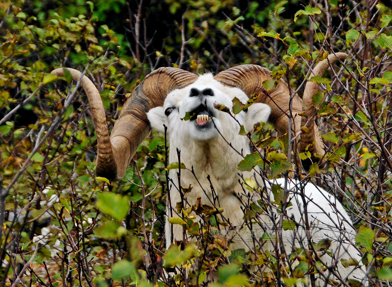 SD-2009.9.16#117.3. It was believed for a long time Sheep and moose would not browse on Mountain Alders because of it's toxicity. But more recently biologists have confirmed that a good freeze reduces the toxicity and they will immediately take advantage of it. This image pretty much verifies that fact. Three different years at this place when I saw sheep get into the alders, they wouldn't leave for a week or two.