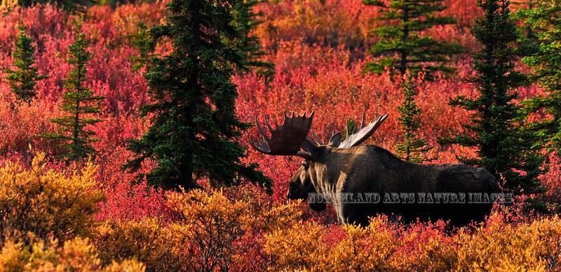 Alaska bull moose. The same great bull featured previously on this same page. One of the luckiest days I've ever had with the light & color. Denali National Park, Alaska. #94.163.