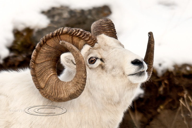 A really handsome mature full curl Dall Sheep ram. Chugach Mountains Alaska. #1110.006. 2x3 ratio format.