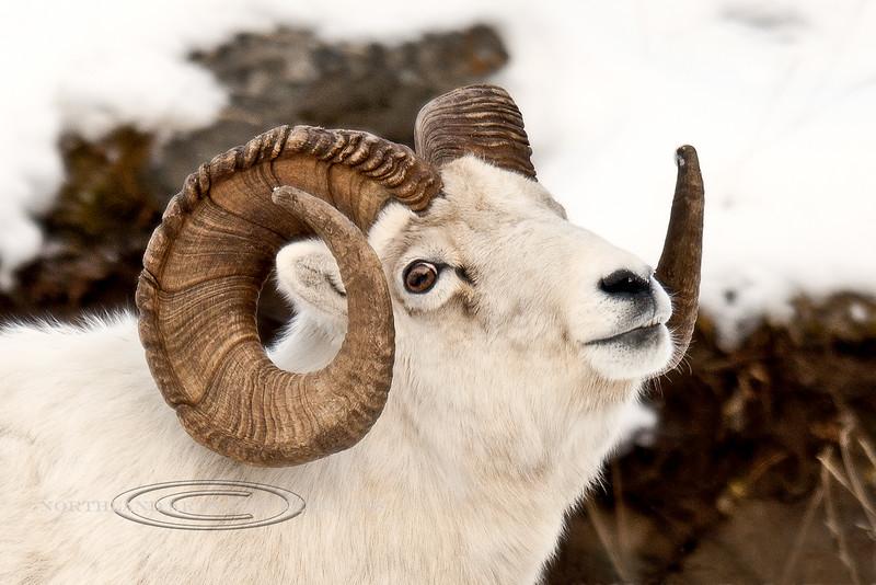 SD-2011.11.10#006-A really handsome full curl Dall ram. Chugach Mountains Alaska.