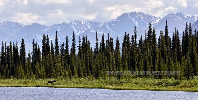 M-2015.6.23#083. A small bull moose is cruising the lake shore browsing on forbs. Talkeetna Mountains, Alaska.