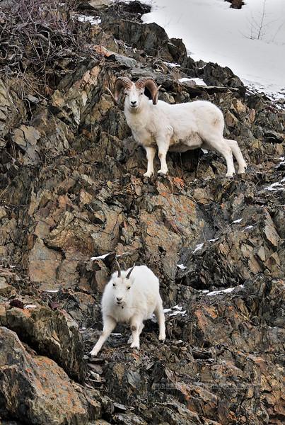 SD-2011.12.16#085-Sheep, Dall. A ram follows a ewe even though the estrus has ended. South Central, Alaska.