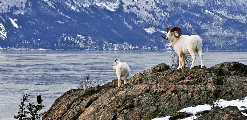 A great heavy full curl Dall ram is following a ewe during the rut that is curious about a Magpie scolding a Bald Eagle. Turnagain Arm, Alaska. #1127.002. 1x2 ratio format. This same image with the Magpie and eagle cropped out in several formats is available in the sheep section at the end of this gallery.
