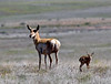 AP-2020.4.23#0034.4. A Pronghorn Antelope doe with her newborn fawn. Yavapai County Arizona.