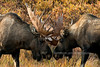 A pair of Alaska bull moose sparring early before the rut. Alaska Range mountains, Alaska. #94.063. 2x3 ratio format.