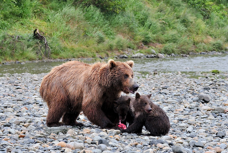 BBR-2010.8.13#228. A Brown bear sow got brave and brought her cubs upstream of Enders Island to fish and has been doing well, except that a medium large male has come down from the falls and is coming their way. McNeil River, Alaska Peninsula, Alaska.