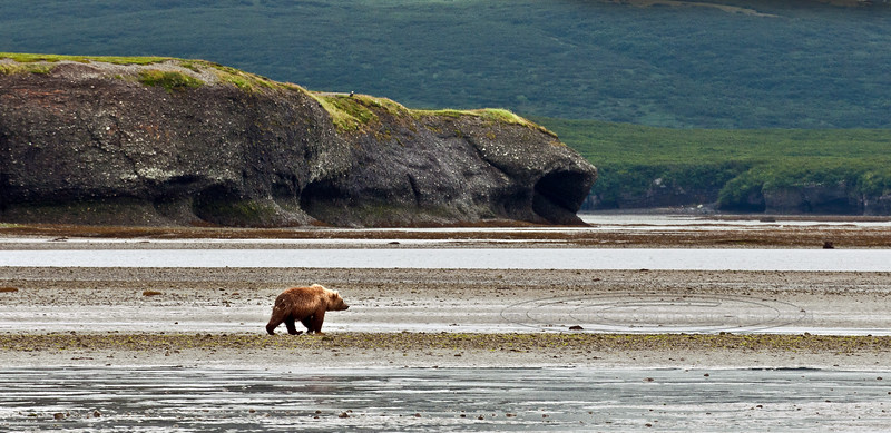 This small Brown bear hangs near the McNeil river mouth away from most of the really large bears that stake out prime fishing holes upstream. Alaska peninsula, Alaska. #813.013. 1x2 ratio format.